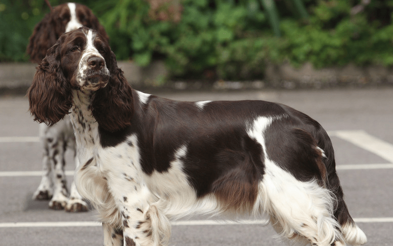 How English Springer Spaniel Welfare worked with Give as you Live